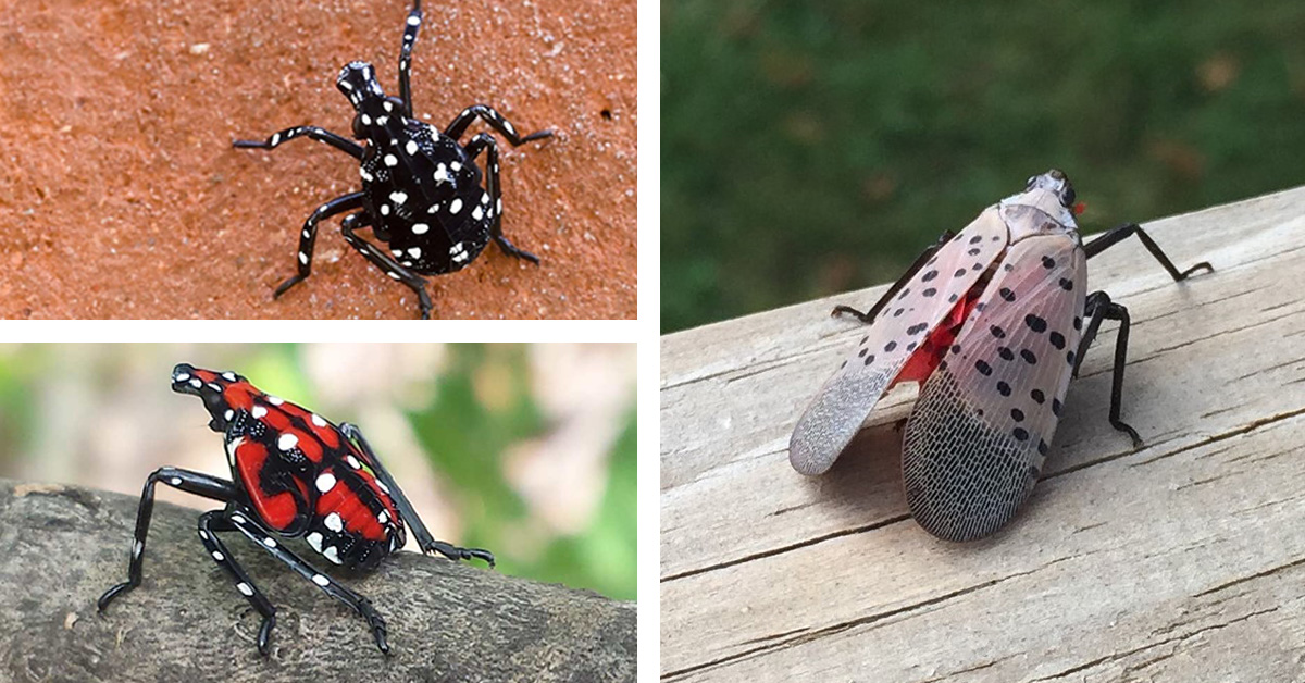 Conestoga Wood and the Spotted Lanternfly